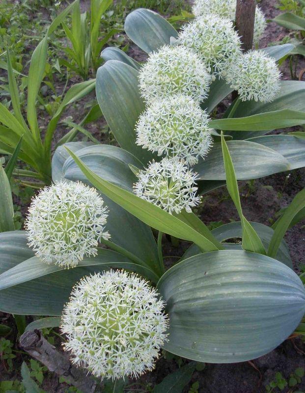 Dekoratyvinių augalų ir gėlių sodmenys