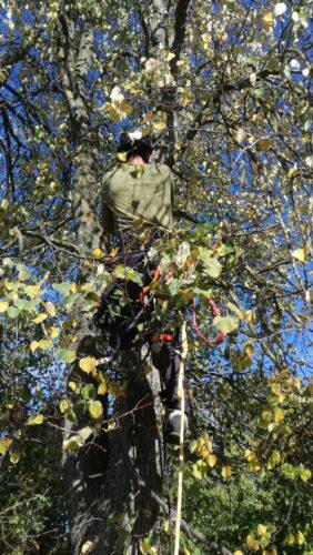 Arboristas tvarko medžius